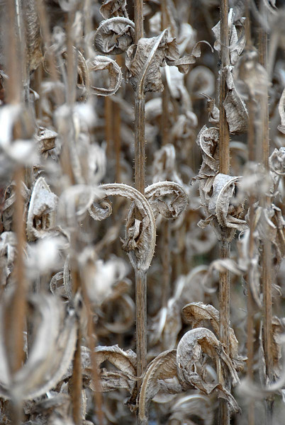 11/26/07 – Here is one more in the series of dry plant textures. Once we get a heavy snow these will be flattened to the ground.