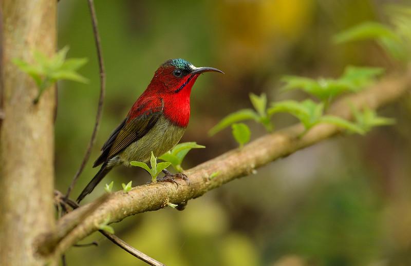 Crimson-sunbird-nameri.jpg