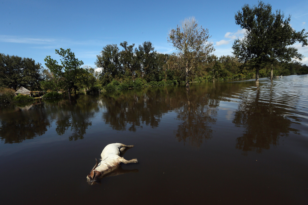 Description of . A dead goat floats in Hurricane Isaac's flood waters on September 1, 2012 in Braithwaite, Louisiana. Louisiana residents continue to cope with the aftermath of Hurricane Isaac with ongoing flooding, destroyed property and many still without electricity. (Photo by Mario Tama/Getty Images)