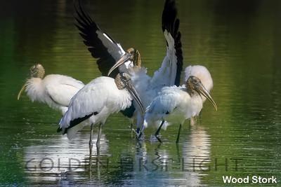 Wood Stork, Pantanal, Brazil