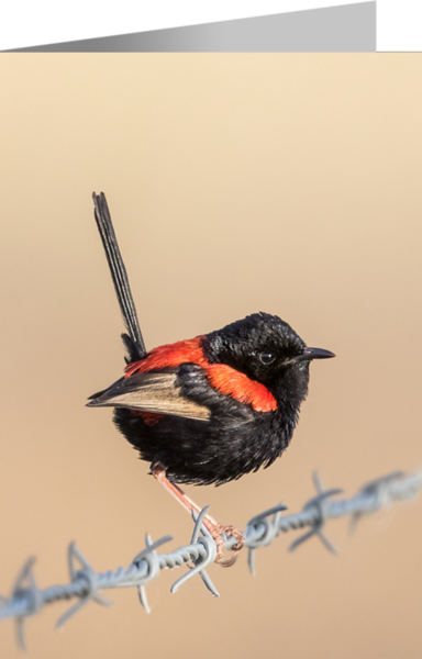 Red-backed Fairy-wren.png