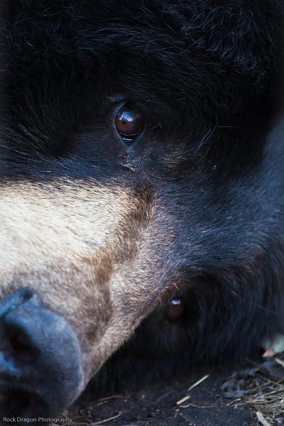 Black Bear, Calgary Zoo Oct.31