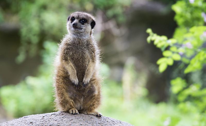 Meerkat on watch