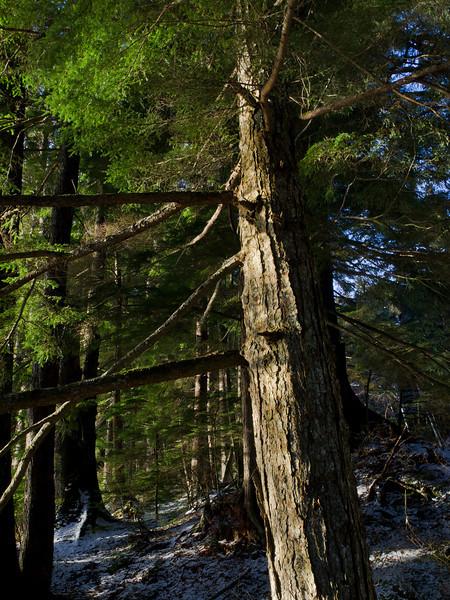 One Auke Rec tree.