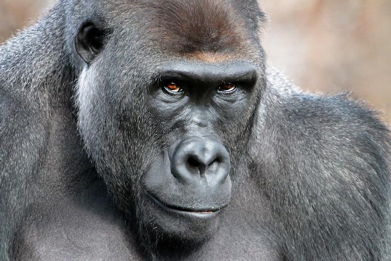 gorilla_lowres.jpg