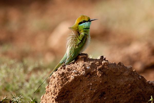 090 Meropidae - Bee-eaters