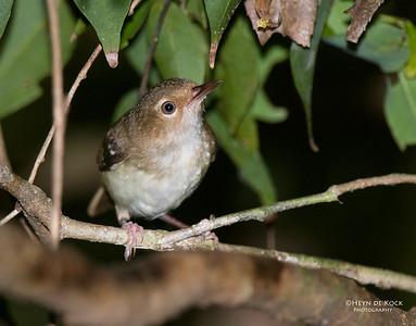 Tropical Scrubwren (Sericornis beccarii)