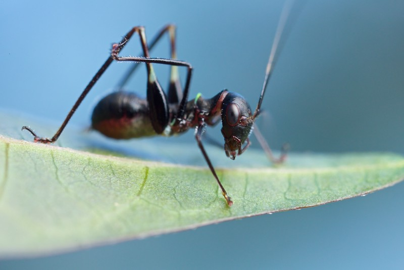 Ant-mimicking katydid nymph (Phaneropterinae)