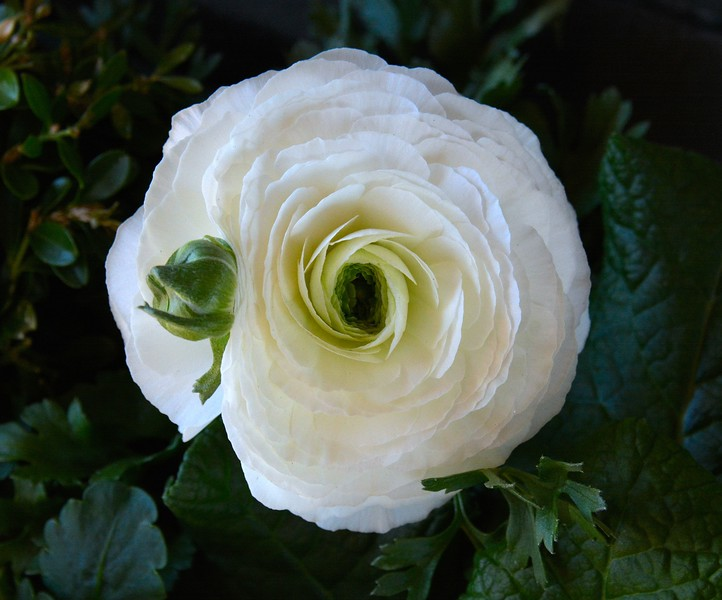 2017 nantucket white rose 4 best.jpg