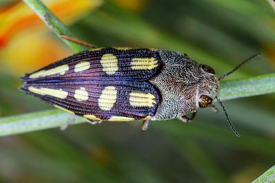 genus Astraeus