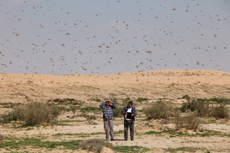 . Israelis look at a swarm of locusts arriving over the Negev desert near the Egyptian border on March 6, 2013 in Kmehin, Israel. Egypt and Israel have been swarmed with millions of locusts over the past few days causing wide spread disturbances.  (Photo by Uriel Sinai/Getty Images)