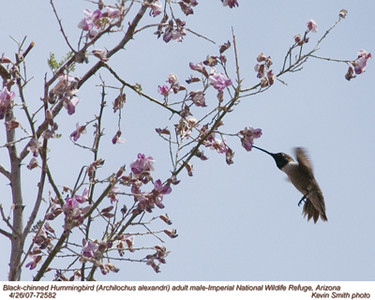 BlackChinnedHummingbirdM72582.jpg