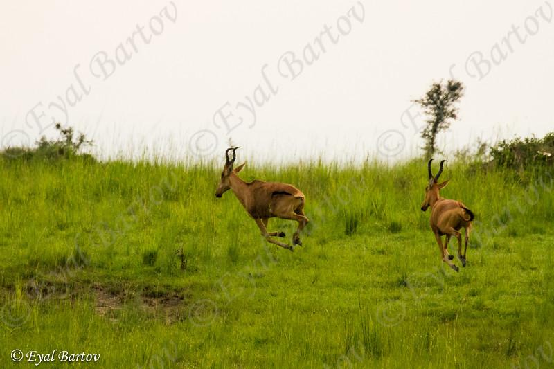 Lelwel Hartebeests (Alcelaphus lelwel)