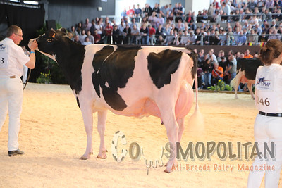 European Holstein Senior Cows