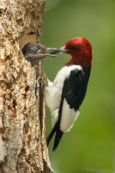 Red headed Woodpecker Feeding Chick 2a. HM3X0827-Edit.jpg