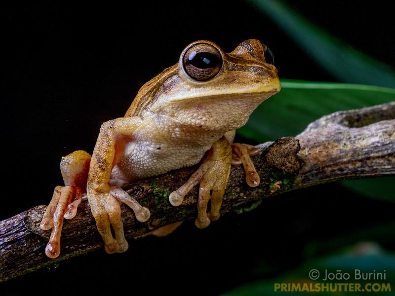 Golden treefrog on a plant stalk