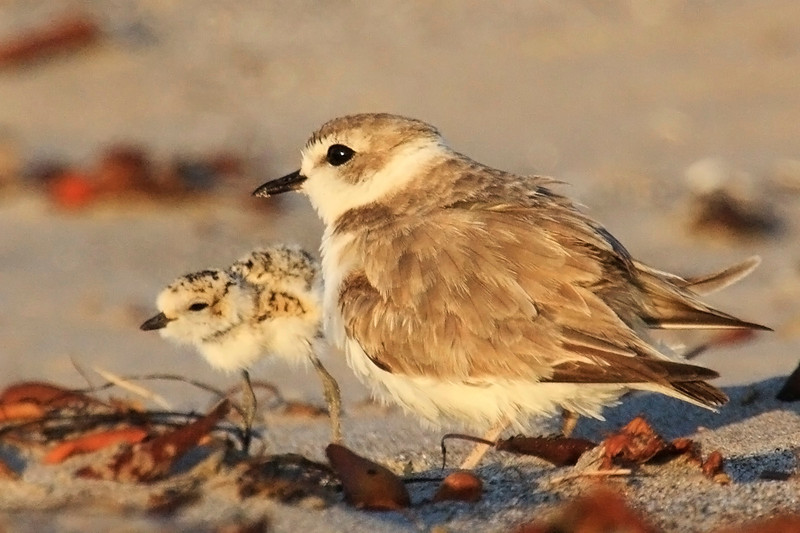 The Western Snowy Plover (Charadrius alexandrinus nivosus) is a small shorebird on the Endangered Species List. Under pressure due to human recreation because, their need to nest in open sand just above the high tide mark, means the birds enjoy access to few of their original breeding grounds. Thanks to conservation work done at Coal Oil Point Reserve in Santa Barbara however, Sands Beach has not only remained open to the public, but has beome one of the most prolific breeding sites on the West coast, with an average of forty chicks fledging every season for the last five years.