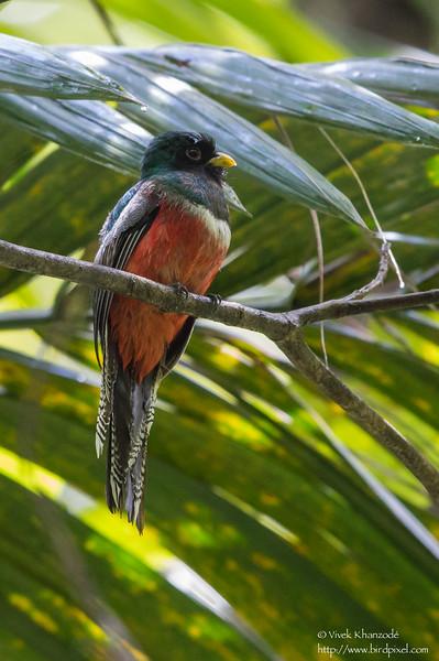 Collared Trogon - Male - Gilpin Trace, Tobago