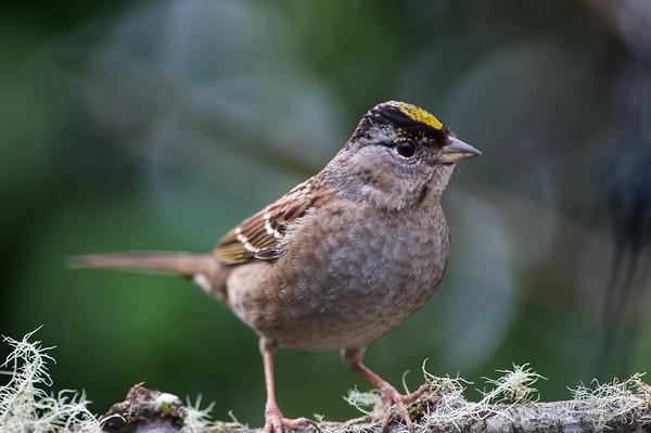 Golden Crowned Sparrow.