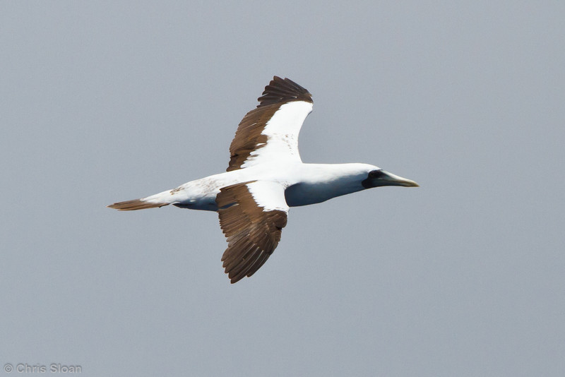 Masked Booby at pelagic trip off Hatteras, NC (06-01-2011) - 285.jpg