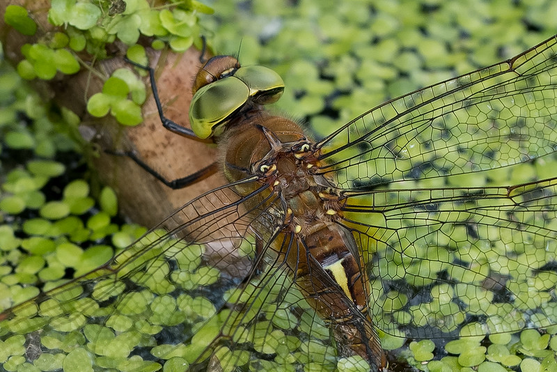 żagnica ruda | green-eyed hawker | aeshna isoceles