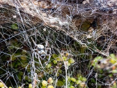 Community Nest Spider (Stegodyphus sp.)