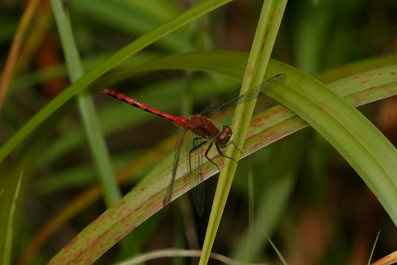 Meadowhawk sp. 240_4070.jpg