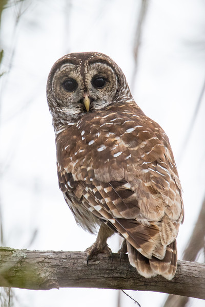 Barred Owl Everglades 2020-1.jpg
