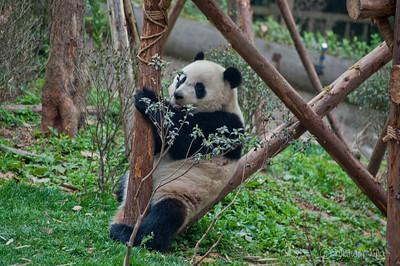 Panda Bear China