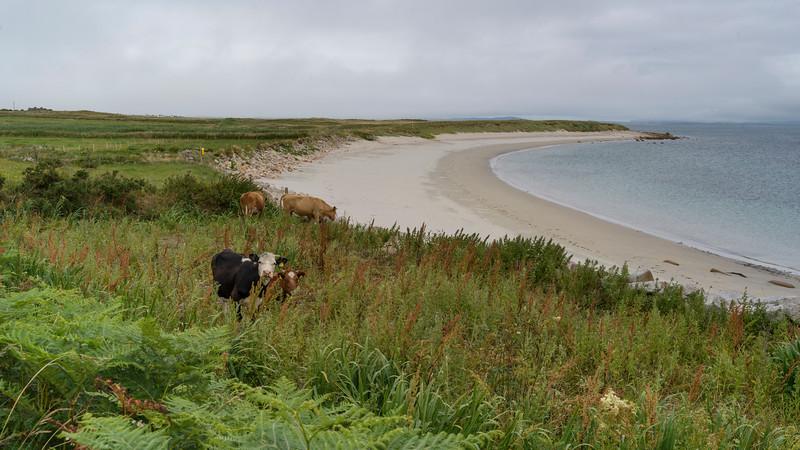 Cattle grazing along coastline, Blacksod Bay, Erris, County Mayo, Ireland