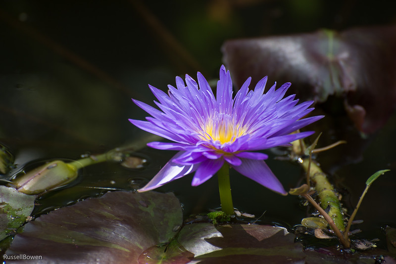 Purple Water Lily 1-1.jpg