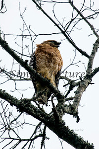 Hawk  016