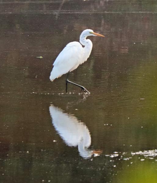 Great white egret 21
