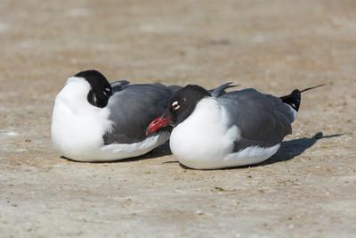 Gulls, Terns & Skimmers