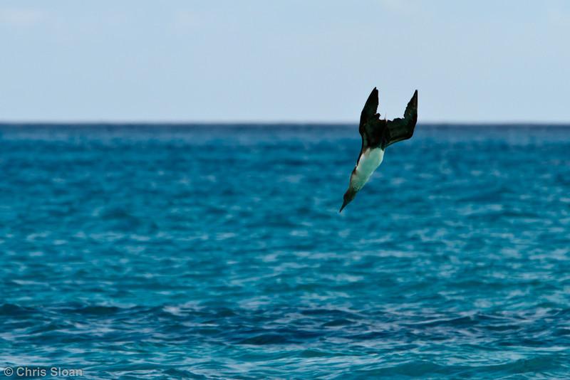 Blue-footed Booby adult at Gardner Bay, Espanola, Galapagos, Ecuador (11-21-2011) - 863.jpg