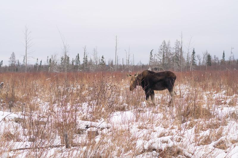 Moose cow yearling in snow Blue Spruce Road Sax-Zim Bog MN DSC02491.jpg