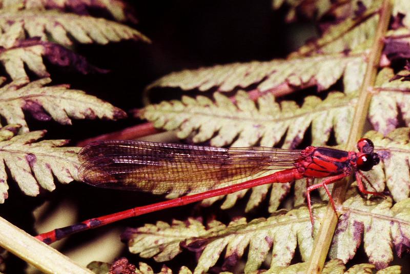 Megalagrion blackburnii (Odonata: Coenagrionidae)