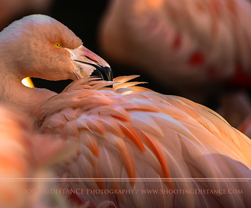 Beautiful Flamingo Explodes Light with her Bill as She Preens