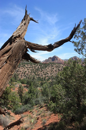 Alien tree, Sedona, Arizona