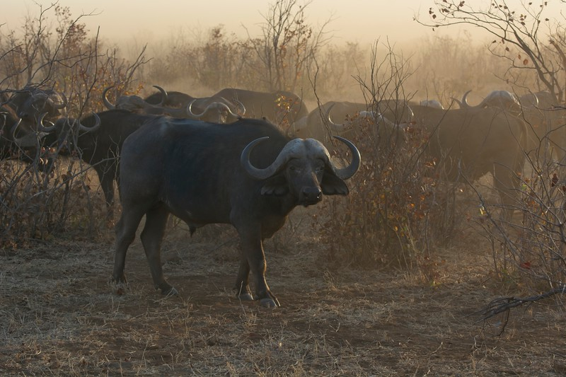 Cape Buffalo25.jpg