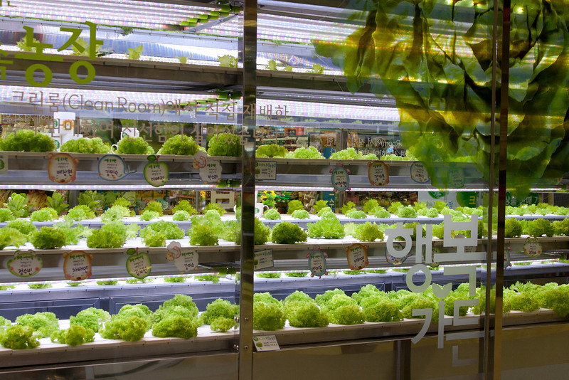 Lettuce grown with hydroponics at Lotte Market
