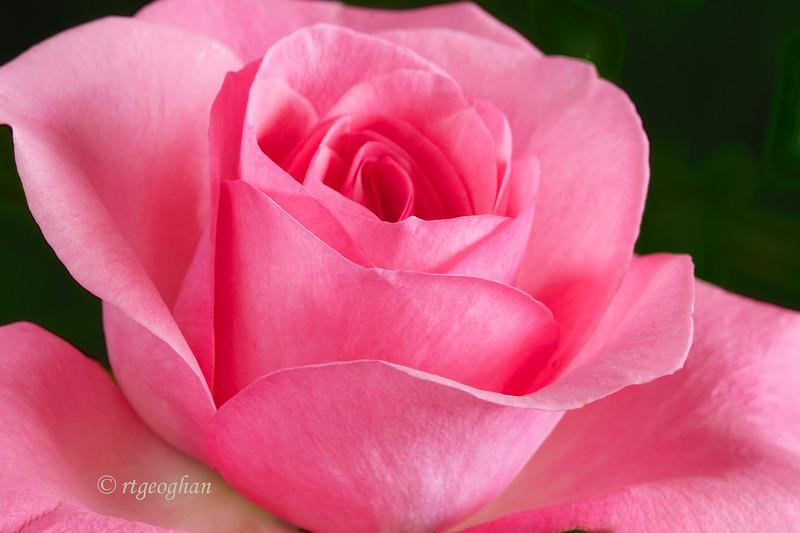 Sept 5_Pink Rose_0150.jpg