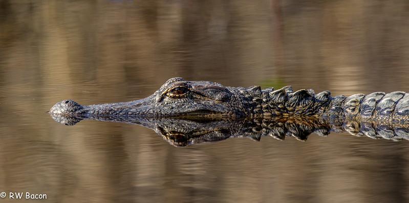 Alligator Reflection.jpg