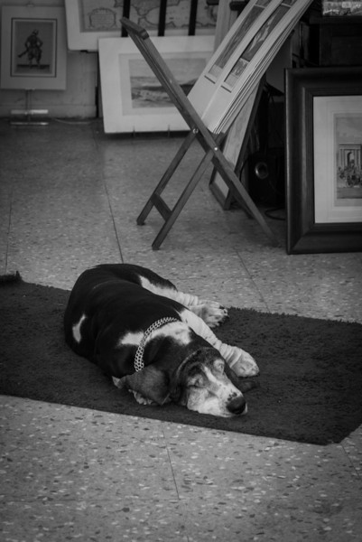 Old Basset Hound taking a nap