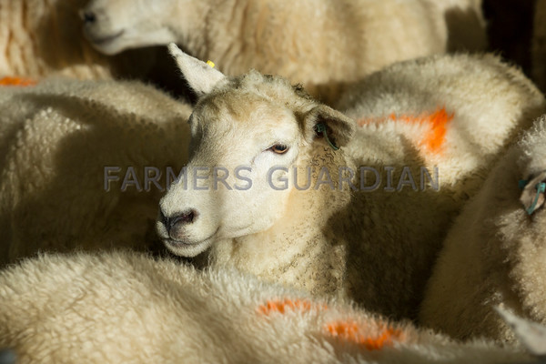 Ashford Market, Romney sheep & Sussex cattle Sept 2016