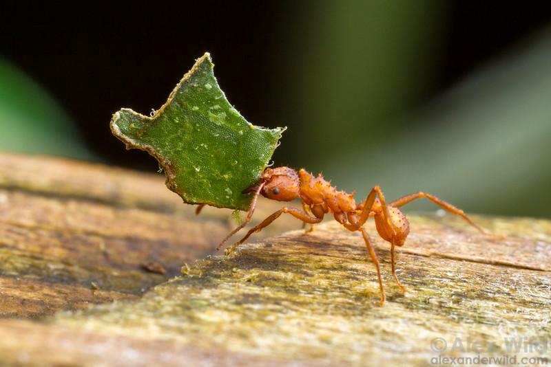 Paratrachymyrmex intermedius