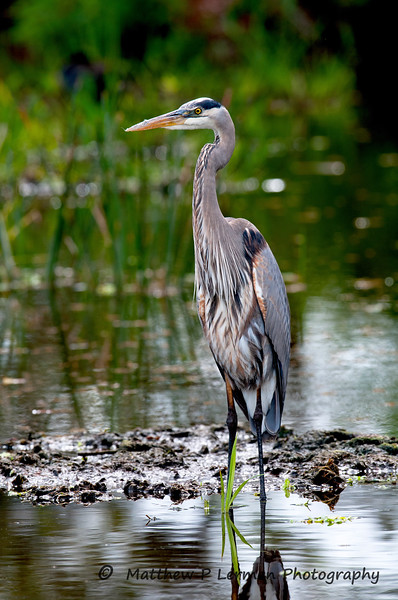 Great Blue Heron_6064.jpg