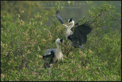 Grey Heron - Airone cenerino ( Ardea cinerea ) - Parco Oglio sud wetlands - Italy
