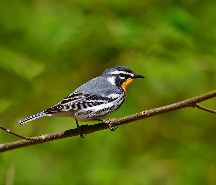 yellow throated warbler120A8811.jpg