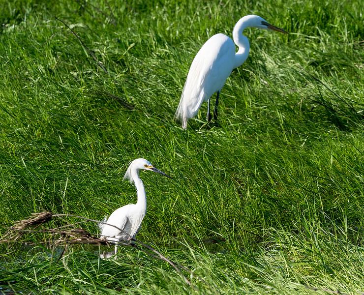 april egrets.jpg